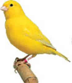 Canary by Yellow Factor Canary Www Imgarcade Com Online Image