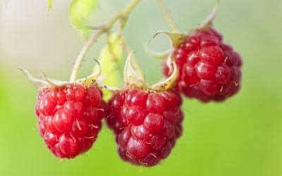 Jual Bibit Buah Raspberry gambar jual bibit durian montong bawor kaki tiga asli 5
