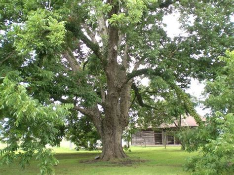 the state tree of is the pecan tree which can grow - How Many States Grow Trees