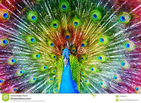 colorful peacock peacock stock image image of tropical beautiful