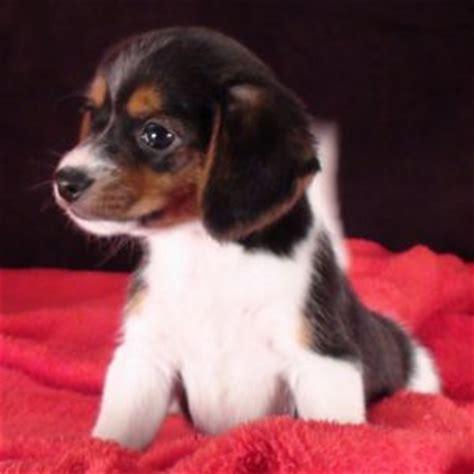 elizabeth pocket beagle puppies for sale elizabeth pocket beagle puppy elizabeth pocket beagle breed information