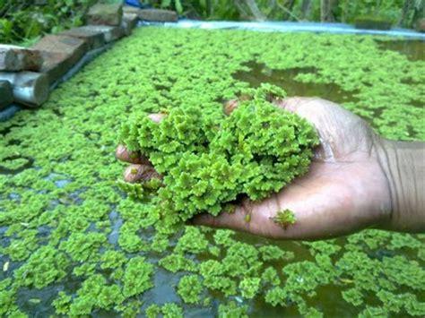 Bibit Itik Medan cara budidaya azolla microphylla secara vegetatif dan generatif