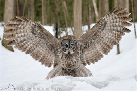 grey owl wallpaper great grey owl wallpaper