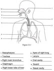 anatomy labeling worksheet human anatomy labeling worksheets respiratory anatomy labeling quiz grut32bit anatomy and