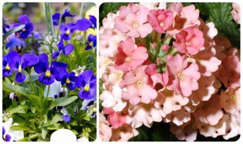 nomi di fiori viola significato dei fiori mamma felice