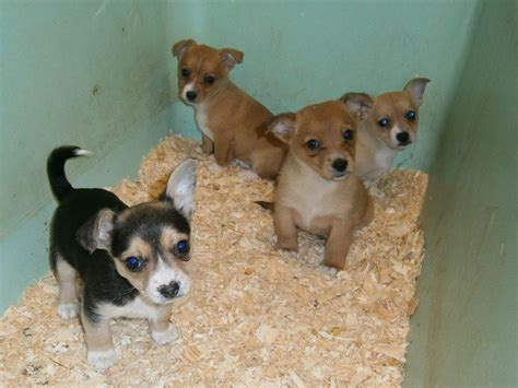 pomeranian cross puppies for sale pomeranian cross puppies harrow middlesex pets4homes
