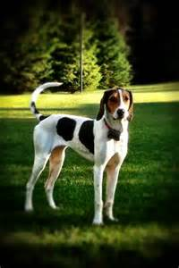 treeing walker coonhound puppies treeing walker coonhound friends