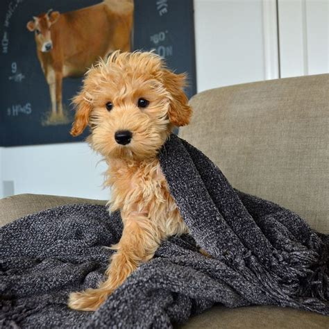 mini goldendoodles teddy best 25 golden doodle mini ideas on golden