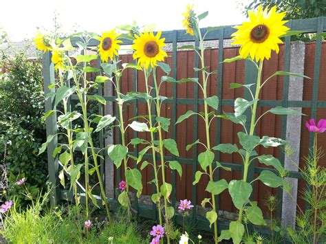 Sunflower Garden Ideas Sunflowers Bring A Smile Nature S Coaching