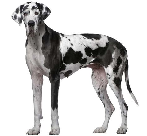 great dane puppy names great dane breed information facts pictures temperament and characteristics