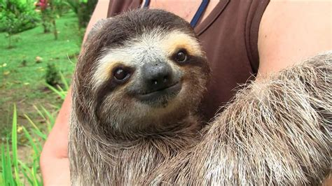 the cute show baby sloths on vimeo