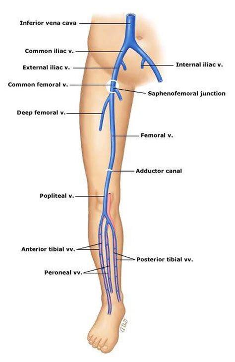 vena safena interna pictures of anterior tibial veinhealthiack