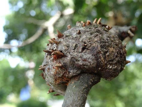 curious friday horned oak galls antilandscaper