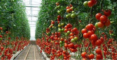 Planter Size For Tomatoes by How Far Apart To Plant Tomatoes Why Do You Need To Do It