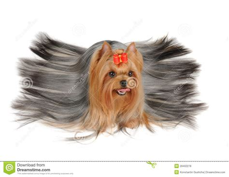 yorkies with hair terrier with hair royalty free stock photos image 29402278
