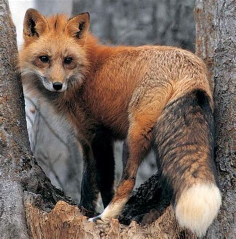 look what is in my back yard red fox sighted in novato