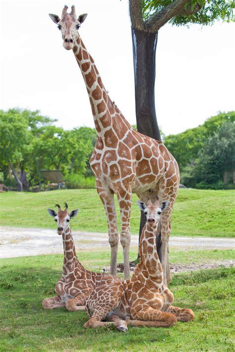 imagenes comicas de jirafas el uso de anticonceptivos en zool 243 gicos veoverde nueva