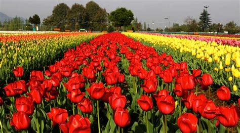 Tulip Flower Garden In India Kashmir S Scenic Tulip Garden Draws Surge Of Tourists The Indian Express