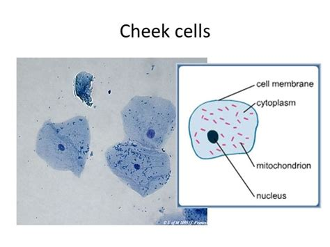 cheek cell diagram diagram of cheek cell microscope images how to