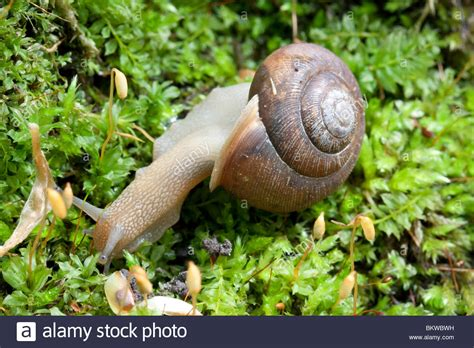 terrestrial snail pictures about animals land snail on mossy log deciduous forest eastern usa stock