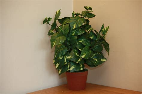 large indoor plants large indoor house plants uk