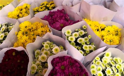 Bibit Tanaman Buah White Pome 40cm bibit tanaman soka putih jepang3 daftar harga termurah