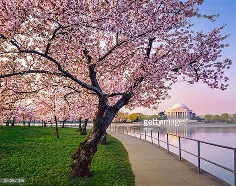 d c cherry trees cherry blossom stock photos and pictures getty images