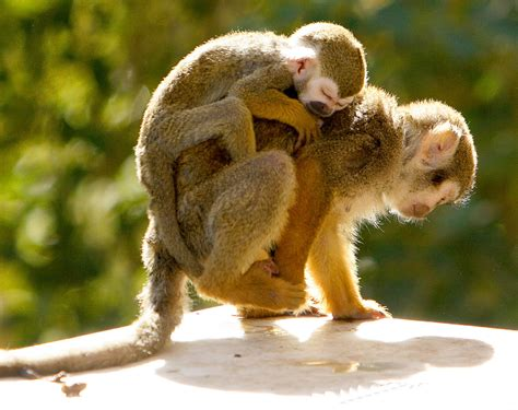monkey and monkey wallpapers hd pictures one hd wallpaper pictures backgrounds free