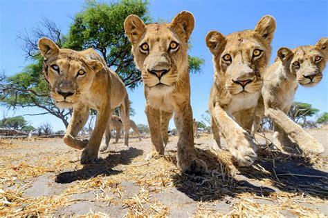 imagenes animales salvajes las mejores fotos de animales salvajes de cerca