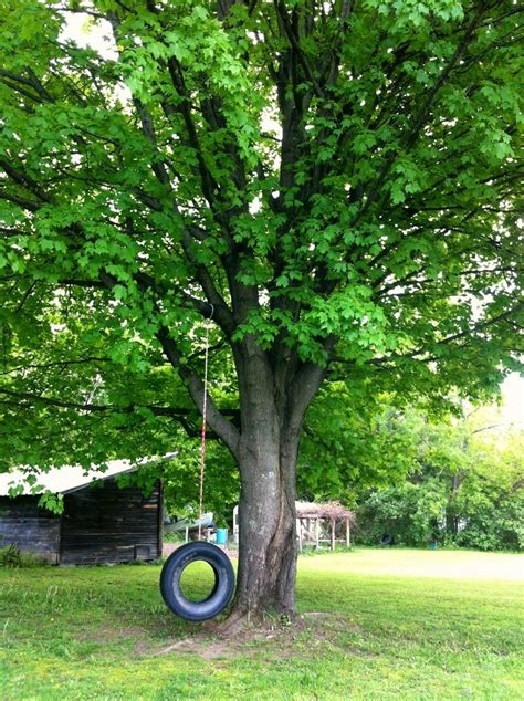 tree with tire swing classic tire swing under the oak tree or maple or ash