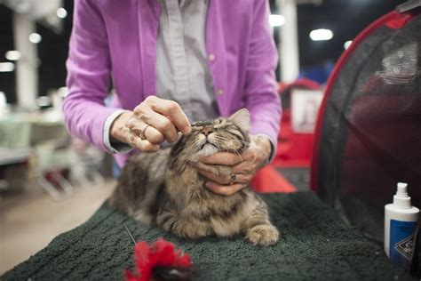 cat and show international cat show draws thousands cat daily news