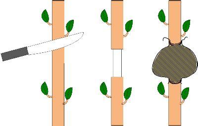 Pisau Cangkok Tanaman praktek perkembangbiakan vegetatif mencangkok jeruk daun ijo