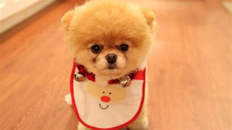 how to a pomeranian puppy pomeranian puppy with bib wallpaper 3619