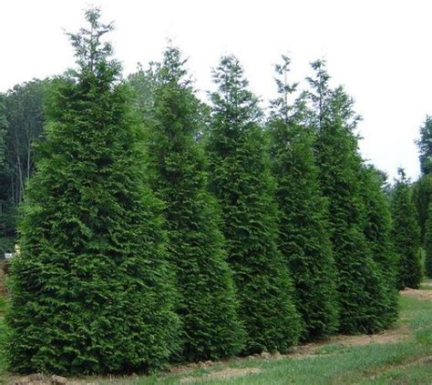 fast growing maple trees thuja gardens 17 best ideas about fast growing trees on pinterest