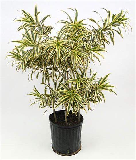 dracaena reflexa dracaena reflexa song of india plantshop ae