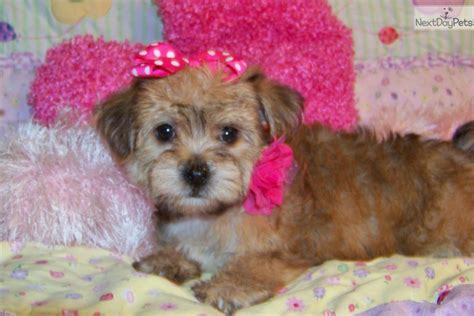 yorkie poo wisconsin yorkie poos for sale in iowa breeds picture