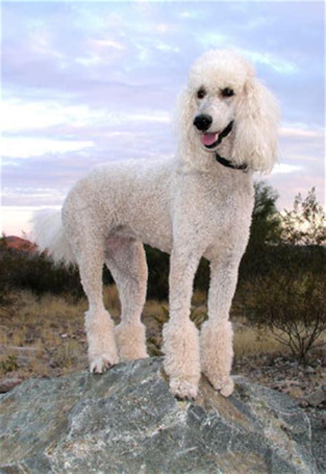 poodle lifespan poodle poodle breeds dogslife breeds magazine