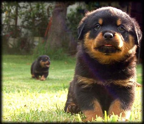 rottweiler puppies cost rottweilers puppies picture jpg 5 comments hi res 720p hd