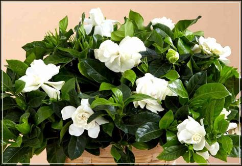 Gardenia Origin Finding Out Gardenia Flower Meaning