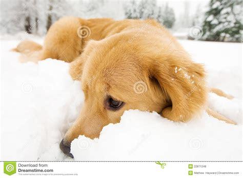golden retriever puppy in snow golden retriever in the snow stock photo image 22871248