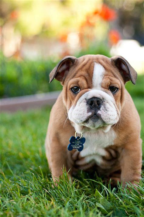 bulldog ingles imagenes preciosas fotos del bulldog ingl 233 s schnauzi com