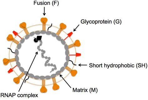 g protein rsv viruses free text breaking in human