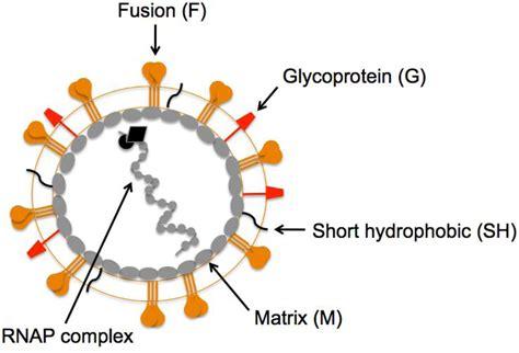 f protein paramyxovirus viruses free text breaking in human