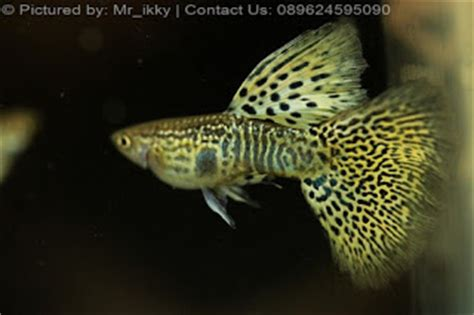 Guppy Blue Lace Grade B 1 Pair Import guppy yellow cobra sale guppy fish indonesia