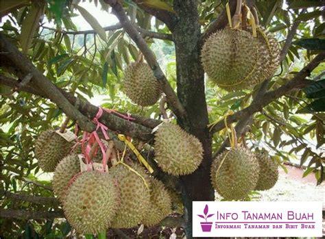 bibit durian bawor durian asli indonesia ukuran buah