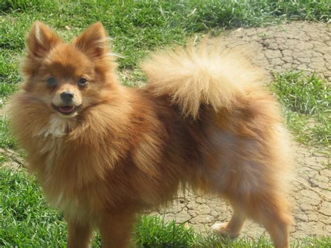 german spitz x pomeranian spitz klein x pomeranian market harborough leicestershire pets4homes