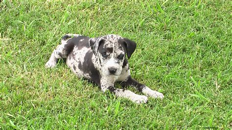 catahoula breed catahoula leopard puppies rescue pictures information temperament