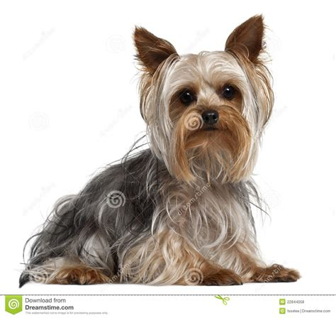yorkie puppy pictures free terrier 1 year lying stock photo image 22844058