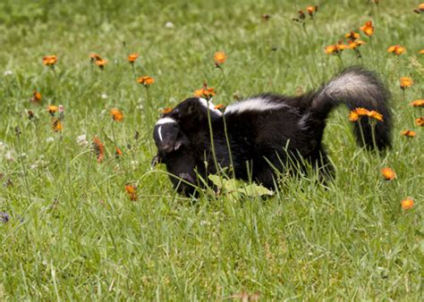 how do you get rid of skunks in your backyard how to get rid of skunks from your property and prevent them from coming back