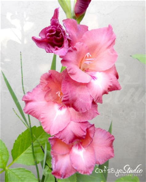 items similar to gladiolus flower photography pink mauve flowers on etsy